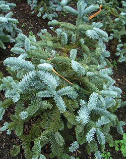 Abies nobilis Noble Fir