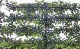 Acer campestre Pleached