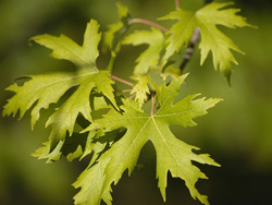 Acer saccharinum Silver maple