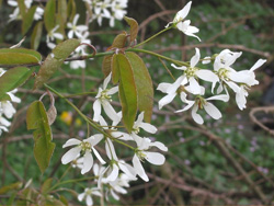 Amelanchier canadensis tree