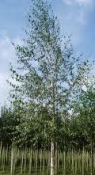 Silver Birch larger