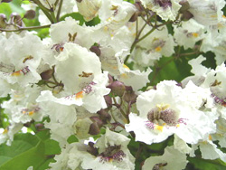 Catalpa bignonioides tree RB