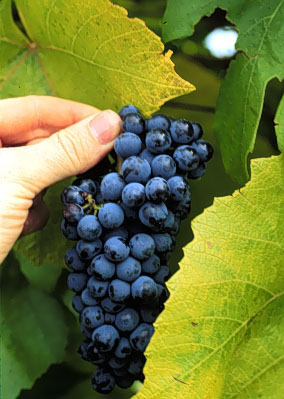 Blue Grape plants
