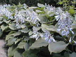 Hosta___Pot__30__496c8eb77b9d8.jpg