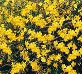 Jasminum_nudiflo_4f1ee73bd1e6a.png