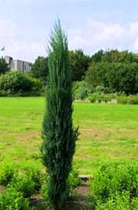 Juniperus virginiana Skyrocket