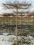 Malus Evereste  parasol tree