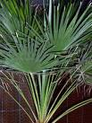 Palm_Tree_Chamae_4a51bb3deac7f.jpg