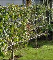 Cherry Early Rivers Pleached Low