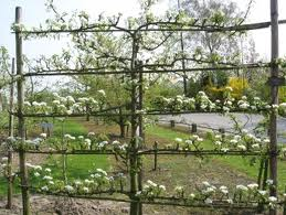 Pear Conference Espalier