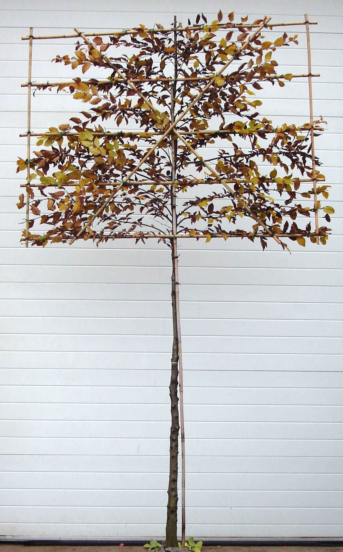 Hornbeam Pleached Autumn Colour