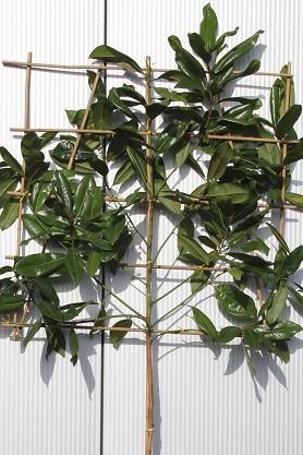 Trees Pleached Espalier Magnolia Grandiflora Evergreen Pleached