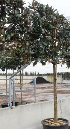 Trees Pleached Espalier Magnolia Grandiflora Evergreen Mature