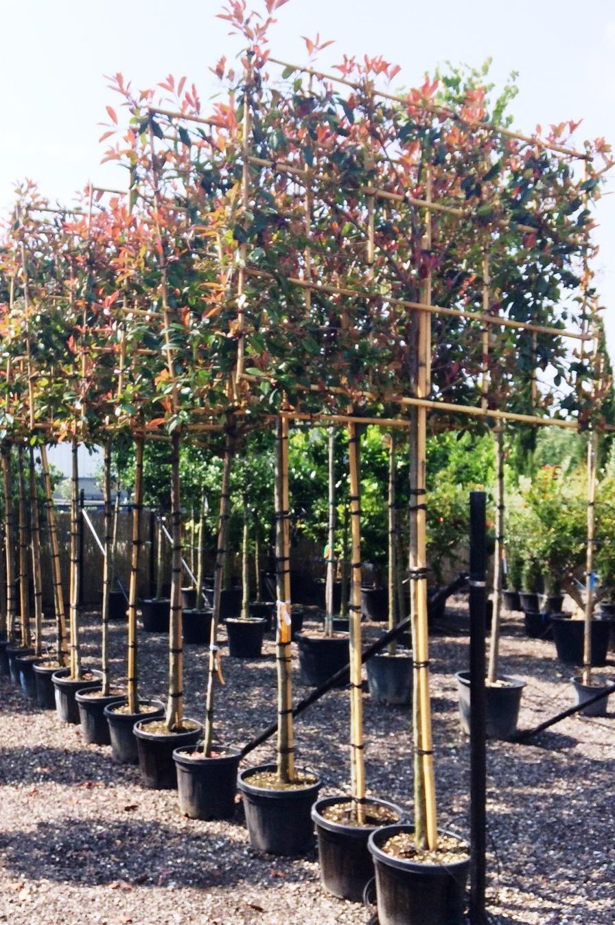 Photinia Pleached Evergreen