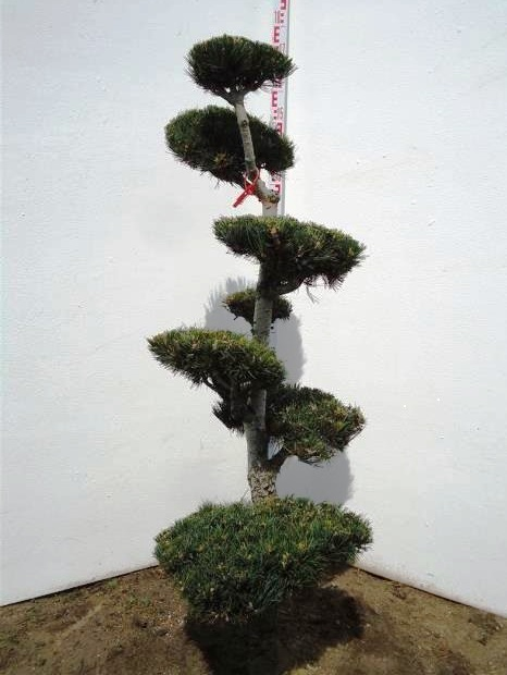 Pinus Garden Bonsai