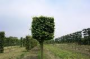 Tilia lime Box head